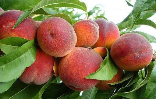 Персик обыкновенный Ред Хейвен 2