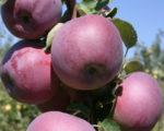 Саженцы яблони Вильямс Прайд