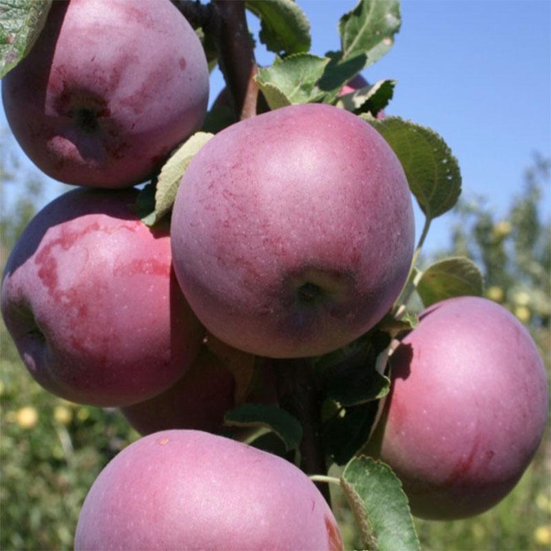 Саженцы яблони Вильямс Прайд 1
