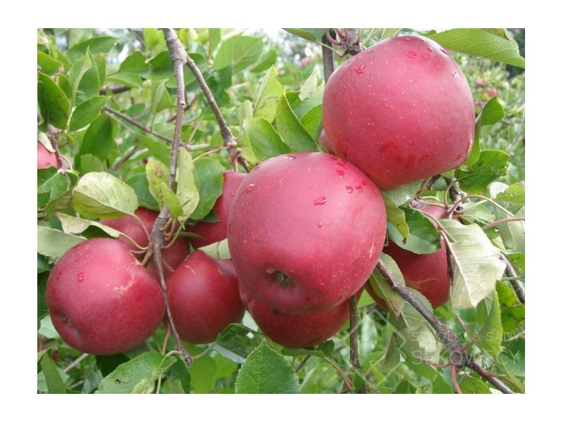 Саженцы яблони Дарк Рубин изображение 3