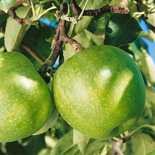 Саженцы яблони Гренни Смит 2