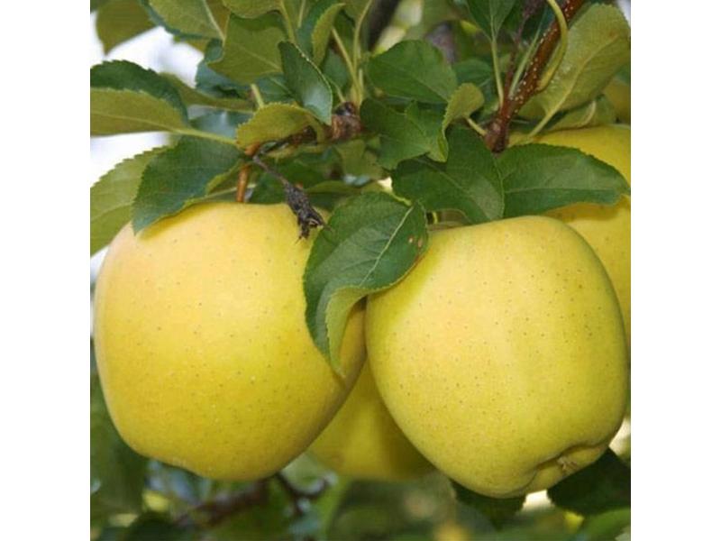 Саженцы яблони Орион изображение 1