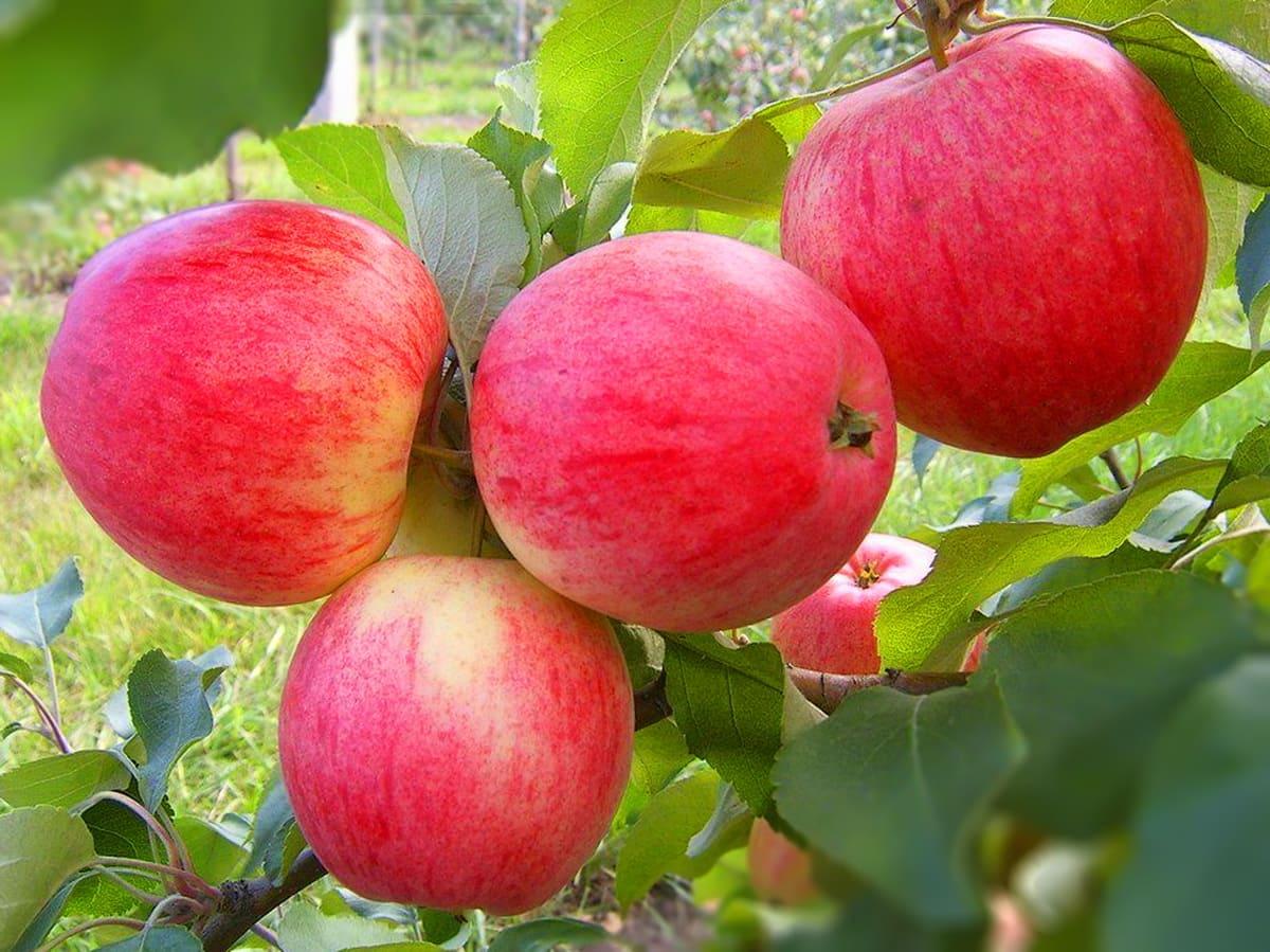 Саженцы яблони Бребурн 1
