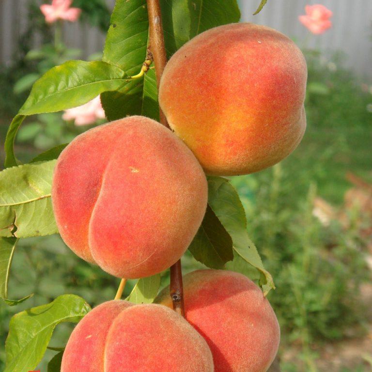 Персик Золотой юбилей изображение 2