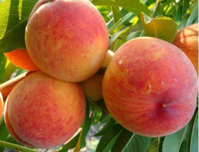 Персик Золотой юбилей 1