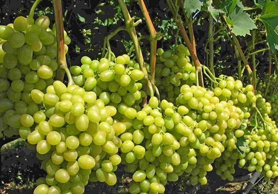 Виноград плодовый Аркадия 2