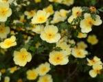 Лапчатка кустарниковая Примроуз Бьюти