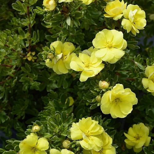 Лапчатка кустарниковая Дабл Панч Голд изображение 1