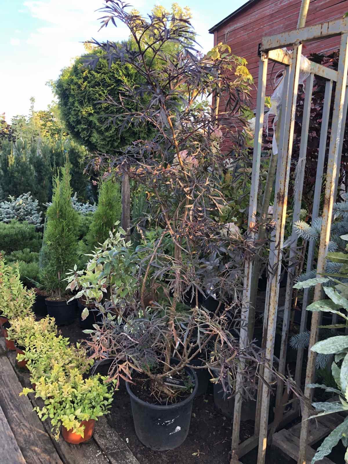 бузина в садах москвы