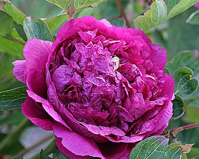 Пион древовидный Цветы Дракона 1