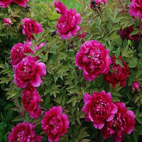 Пион древовидный Цветы Дракона 2