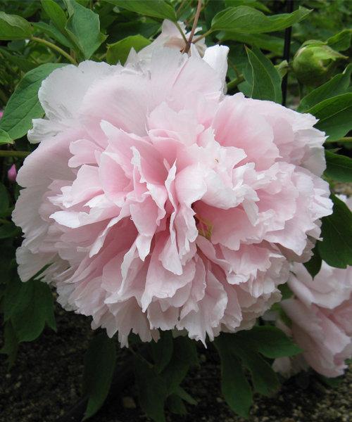 Пион древовидный Букет Розовых Гвоздик 1