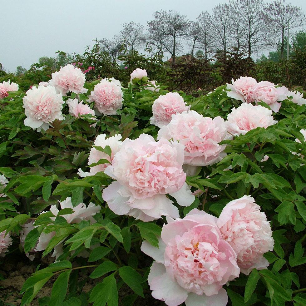 Пион древовидный Букет Розовых Гвоздик 2