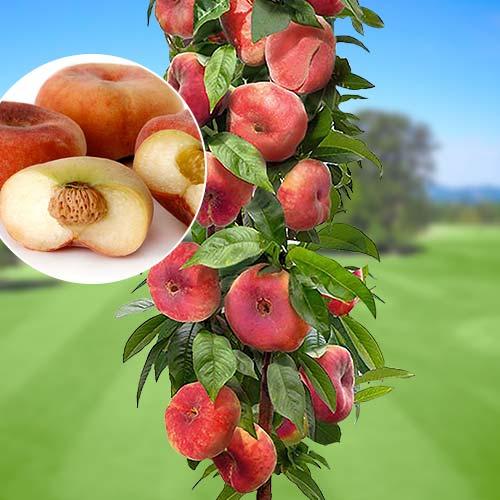 Персик колоновидный Инжирный 1