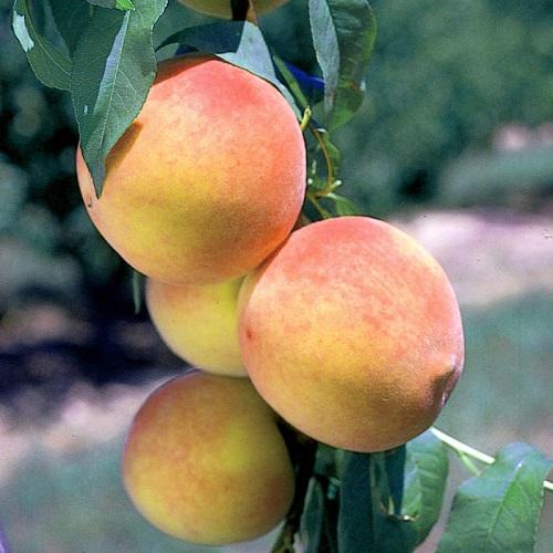 Персик колоновидный Кулон изображение 1