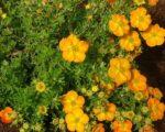 Лапчатка кустарниковая Белла Сол