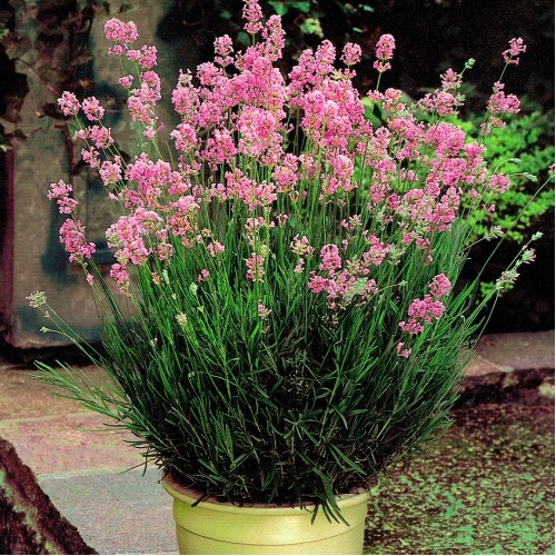 Лаванда узколистная Розеа изображение 2
