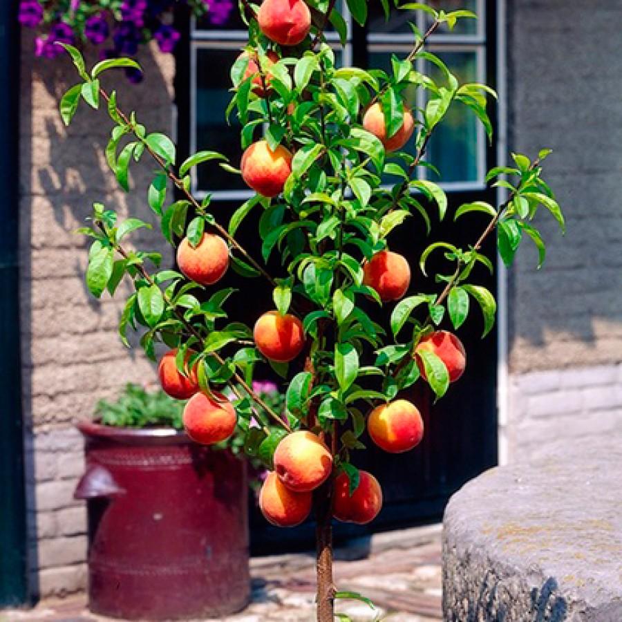Персик колоновидный Роман 2