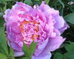 Пион древовидный Цветочная роса