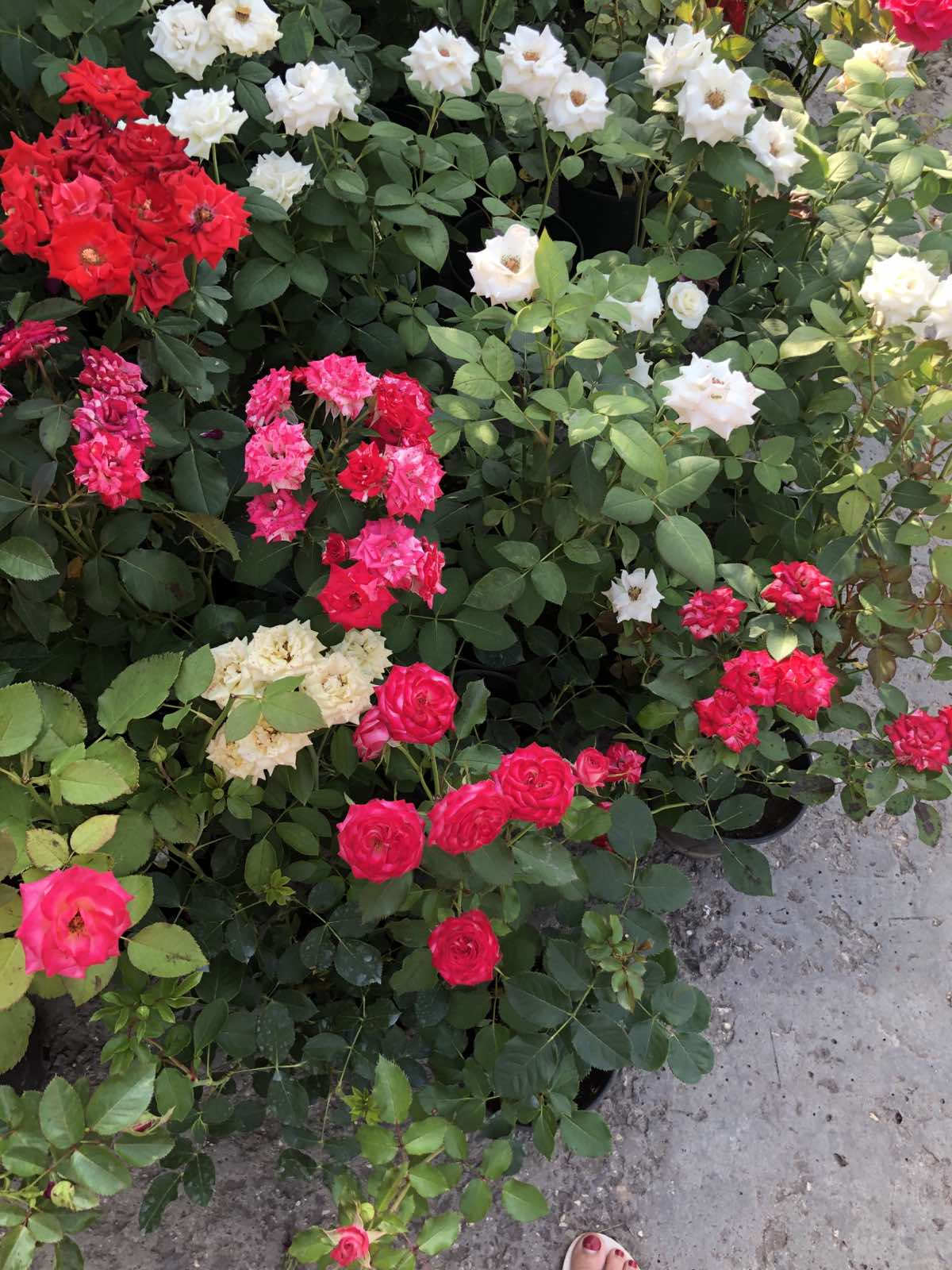 кустарниковая роза в москве