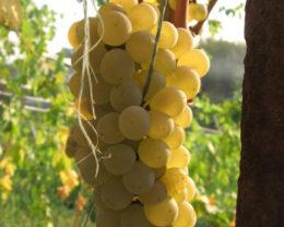 Виноград Солярис