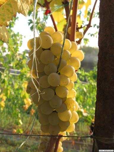 Виноград Солярис 1