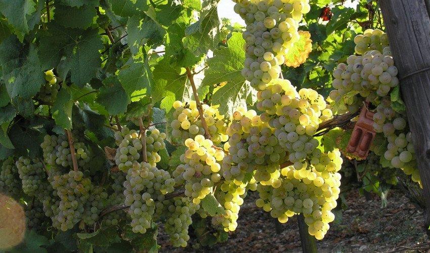 Виноград Солярис 2