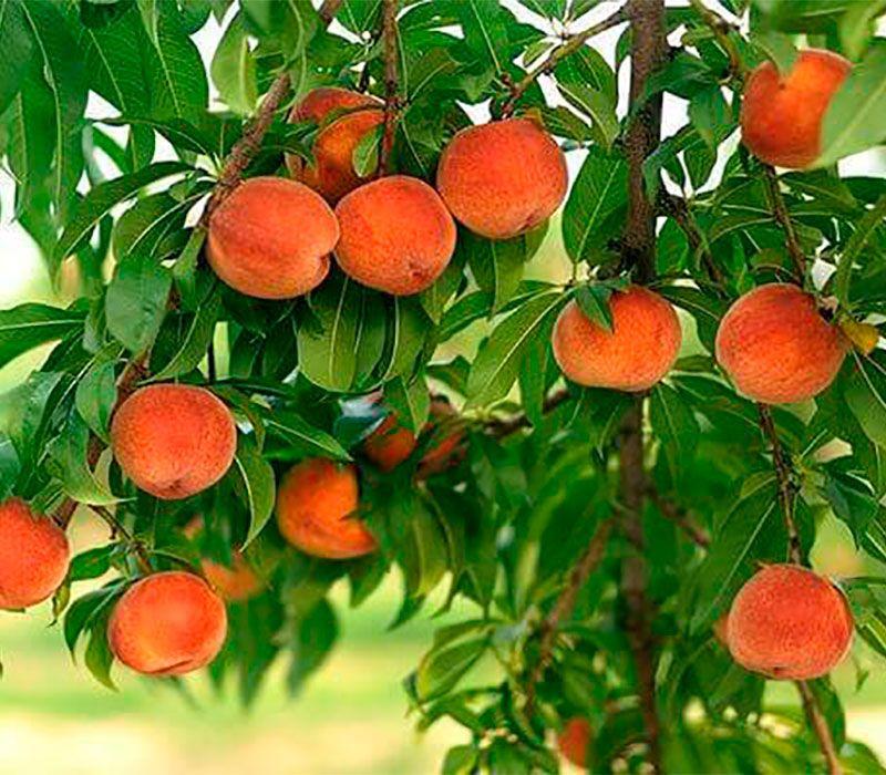 Персик колоновидный Тотем садовода изображение 2