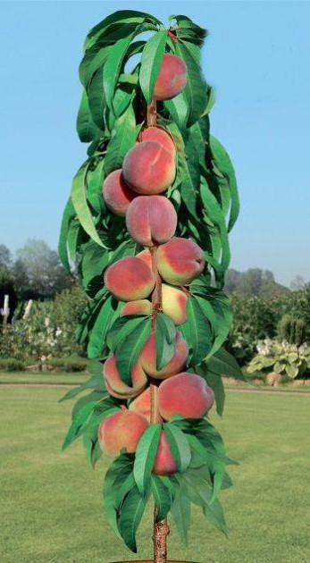 Персик колоновидный Тотем садовода изображение 1