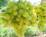 Виноград плодовый Аркадия
