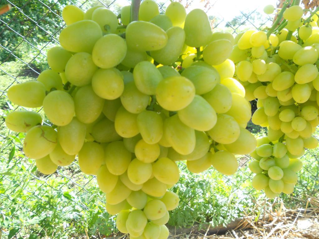 Виноград плодовый Аркадия 1