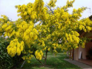Дерево караганы жёлтой