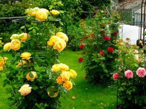 английские розы для сада