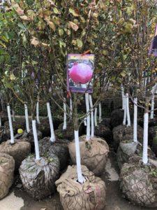 взрослые саженцы плодовых деревьев
