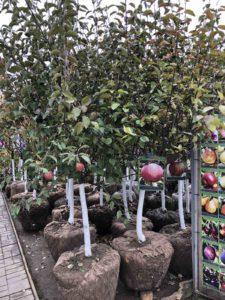 крупномеры плодовых деревьев