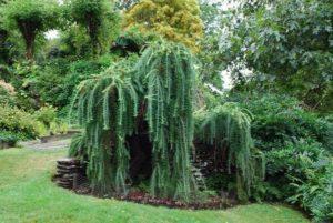 лиственница в саду