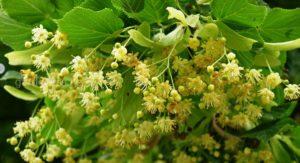 цветения липы