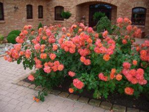 парковые розы у дома