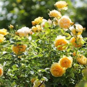 Жёлтые парковые розы