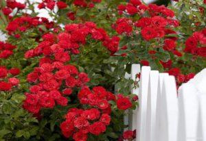 красные плетистые розы