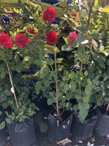 саженцы кустовых роз в Москве