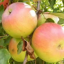 Яблоня Болотовское 5