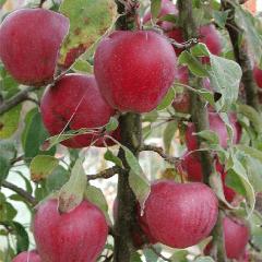 Яблоня Брусничное 2