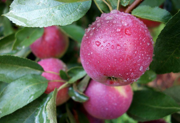 Яблоня Брусничное изображение 1