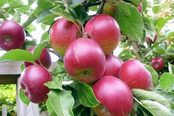 Яблоня Брусничное 4