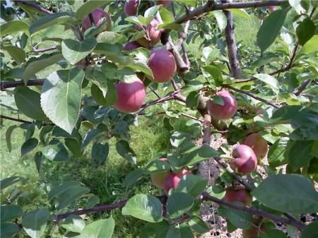 Яблоня Брусничное 5