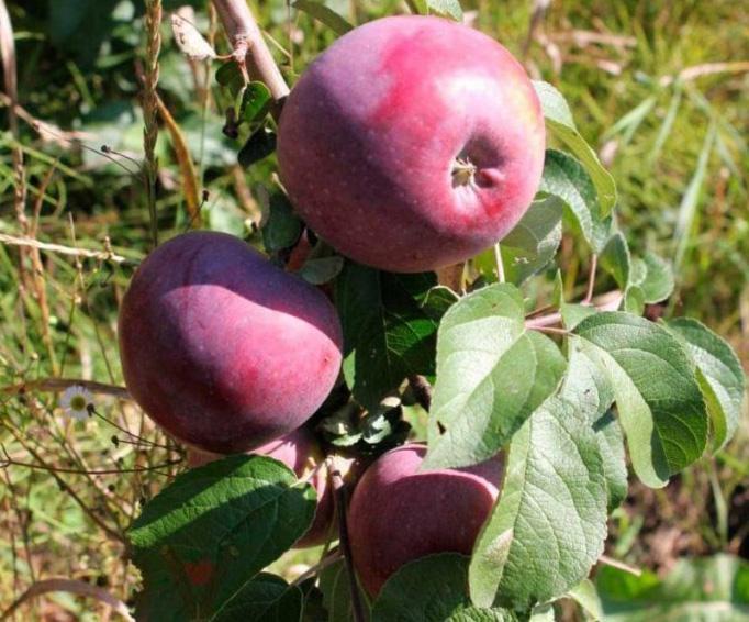 Яблоня Дарунок изображение 2