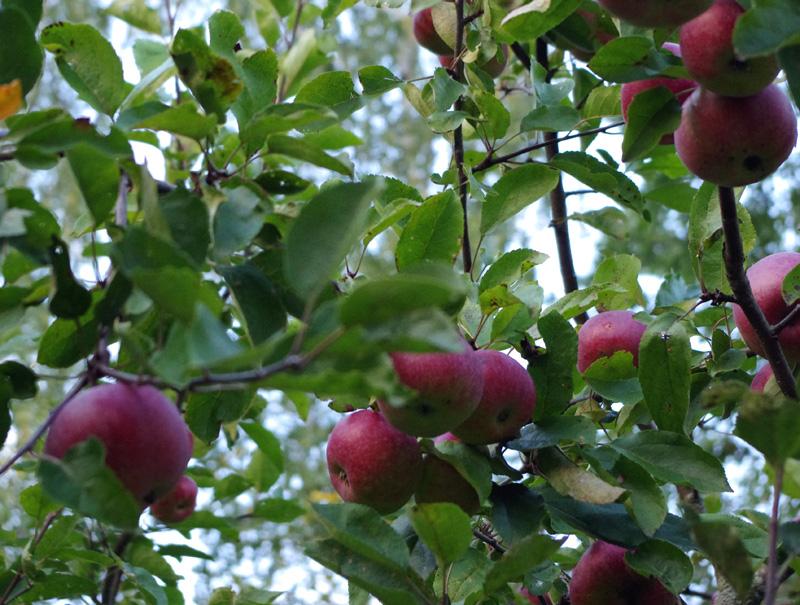 Яблоня Дарунок изображение 3