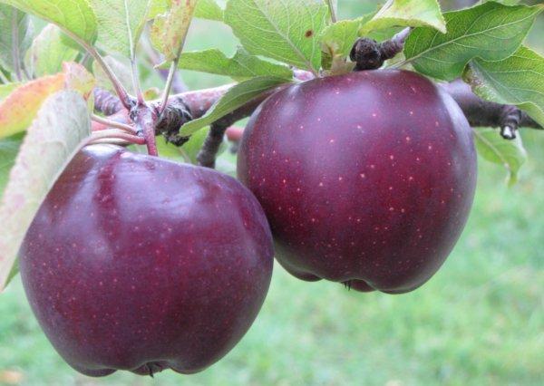 Яблоня Дарунок изображение 1