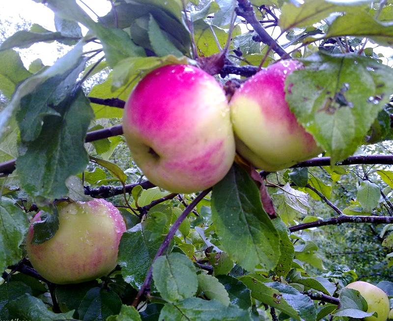 Яблоня Десертное Исаева 2